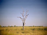 Sun-Bleached Tree in Savuti Marsh, Botswana Photographic Print by Paul Souders