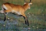 Lechwe Leaping Through Marsh Photographic Print by Paul Souders