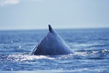 Humpback Whale Surfacing in Frederick Sound Photographic Print by Paul Souders