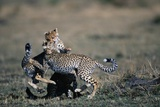 Cheetah Cubs Playing Photographic Print by Paul Souders