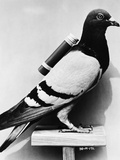 U.S. Army Carrier Pigeon Photographic Print by Philip Gendreau