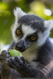 Ring-Tailed Lemur, Ambalavao, Madagascar Photographic Print by Paul Souders