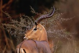 Alert Male Impala Photographic Print by Paul Souders