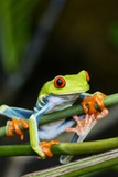 Red Eyed Tree Frog, Costa Rica Reproduction photographique par Paul Souders