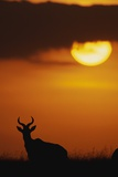 Topi Antelope Silhouette at Sunrise Photographic Print by Paul Souders