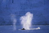Humpback Whales Blowing in Mcfarlane Strait in Antarctica Photographic Print by Paul Souders