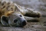 Spotted Hyena Fotografisk tryk af Paul Souders