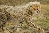 Cheetah Cub, Ngorongoro Conservation Area, Tanzania Photographic Print by Paul Souders