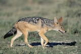 Black-Backed Jackal Walking Photographic Print by Paul Souders