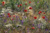 Red Poppies and Wildflowers Photographic Print by Paul Souders