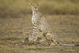 Cheetah Cubs and their Mother Reprodukcja zdjęcia autor Paul Souders