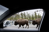 American Bison Seen from Car in Yellowstone National Park Photographic Print by Paul Souders