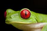 Red Eyed Tree Frog, Costa Rica Impressão fotográfica por Paul Souders