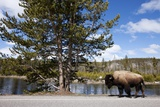 American Bison Walking Along Road in Yellowstone National Park Photographic Print by Paul Souders