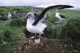 Gray-Headed Albatross Stretching Both Wings Photographic Print by Paul Souders