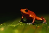 Strawberry Poison Arrow Frog Photographic Print by Paul Souders