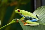 Red Eyed Tree Frog, Costa Rica Fotografisk tryk af Paul Souders