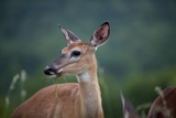White-Tailed Deer, Skyline Drive, Shenandoah National Park, Virginia Photographic Print by Paul Souders