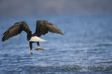 Bald Eagle Catching a Fish Photographic Print by Paul Souders