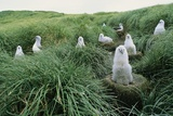 Gray-Headed Albatross Chicks Waiting in Nests Photographic Print by Paul Souders