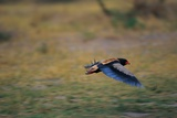 A Bateleur in Flight Photographic Print by Paul Souders