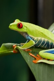 Red Eyed Tree Frog, Costa Rica Photographie par Paul Souders