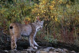 Lynx Near Toklat River in Alaska Photographic Print by Paul Souders