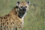 Spotted Hyena Standing in Grass Photographic Print by Paul Souders