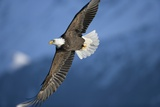American Bald Eagle in Flight Photographic Print by Paul Souders