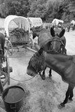 Mules Eating Hay with Carts in Background Photographic Print