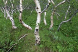 Birch Forest in Iceland Photographic Print by Paul Souders