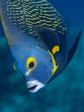 French Angelfish, Bonaire Photographic Print by Paul Souders