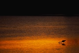 Heron Feeding at Sunset Photographic Print by Paul Souders