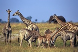 Giraffe Herd at Water Hole Photographic Print by Paul Souders
