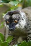 Common Brown Lemur, Madagascar Photographic Print by Paul Souders