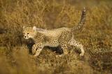 Playing Cheetah Cub Fotografisk tryk af Paul Souders