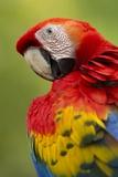 Scarlet Macaw, Costa Rica Stampa fotografica di Paul Souders