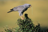 Pale Chanting Goshawk Swallowing Lizard Photographic Print by Paul Souders