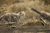 Cheetah Cubs Playing at Ngorongoro Conservation Area, Tanzania Photographic Print by Paul Souders