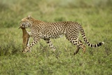 Cheetah and Prey Photographic Print by Paul Souders