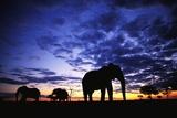 Elephant Silhouettes Fotografisk tryk af Paul Souders