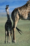 Giraffe and Calf Photographic Print by Paul Souders