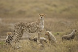 Cheetah and Cubs, Ngorongoro Conservation Area, Tanzania Photographic Print by Paul Souders