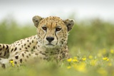 Cheetah at Ngorongoro Conservation Area, Tanzania Photographic Print by Paul Souders
