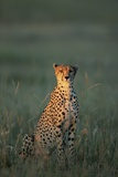 Cheetah Sitting in Grass Photographic Print by Paul Souders