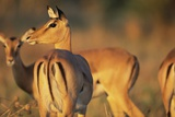 Impala Herd Photographic Print by Paul Souders