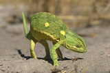 Flap-Necked Chameleon Photographic Print by Paul Souders