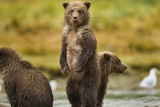 Brown Bear Cubs, Katmai National Park, Alaska Photographic Print by Paul Souders