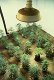 Marijuana Plants under Grow Light Photographic Print by Roger Ressmeyer