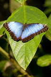 Blue Morpho Butterfly, Costa Rica Photographic Print by Paul Souders